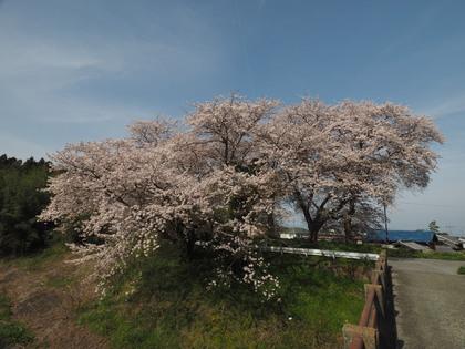 20160406_sakura_005.jpg