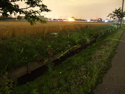 20110611_koura_hotaru_01_s.jpg