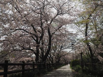 20160406_sakura_013.jpg