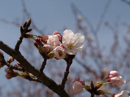 20100403_02_sakura.jpg