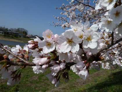 20120412_cherry.jpg