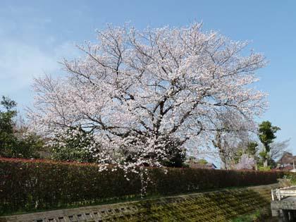 20130404_takamiya_cherry.jpg